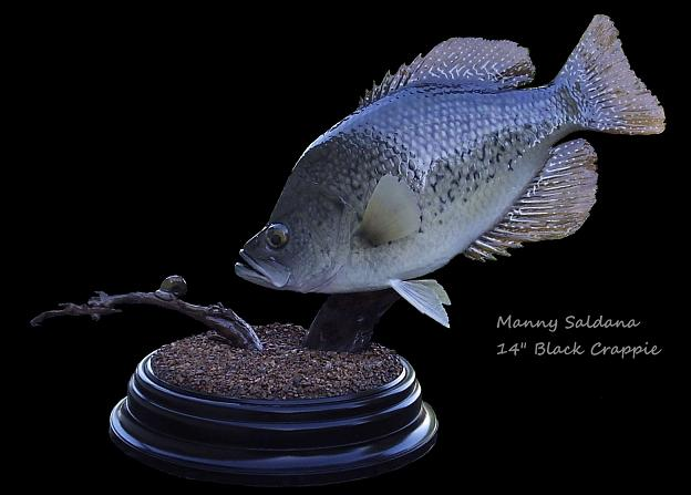 Black Crappie Replica