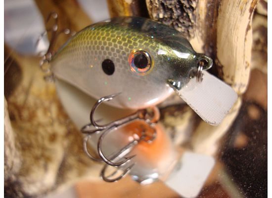 gizzard shad 2