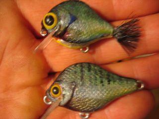 Baby bluegills