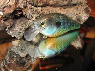 Male Gill