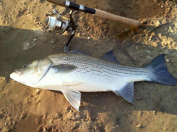 Winter hybrid bass
