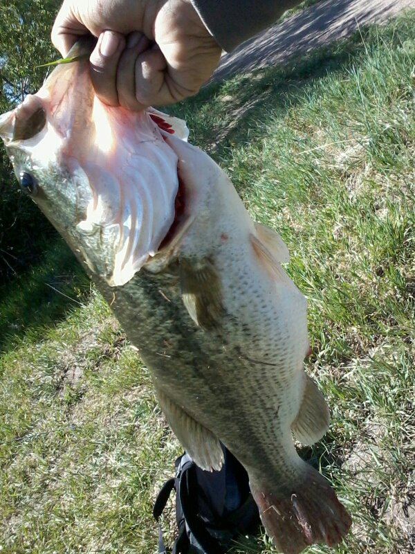 5.2 pound bass.  Carolina Rig My homemade worms