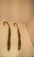 Rib worm