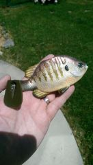 Bluegill Swimbait.  Silicone Top hook line through.