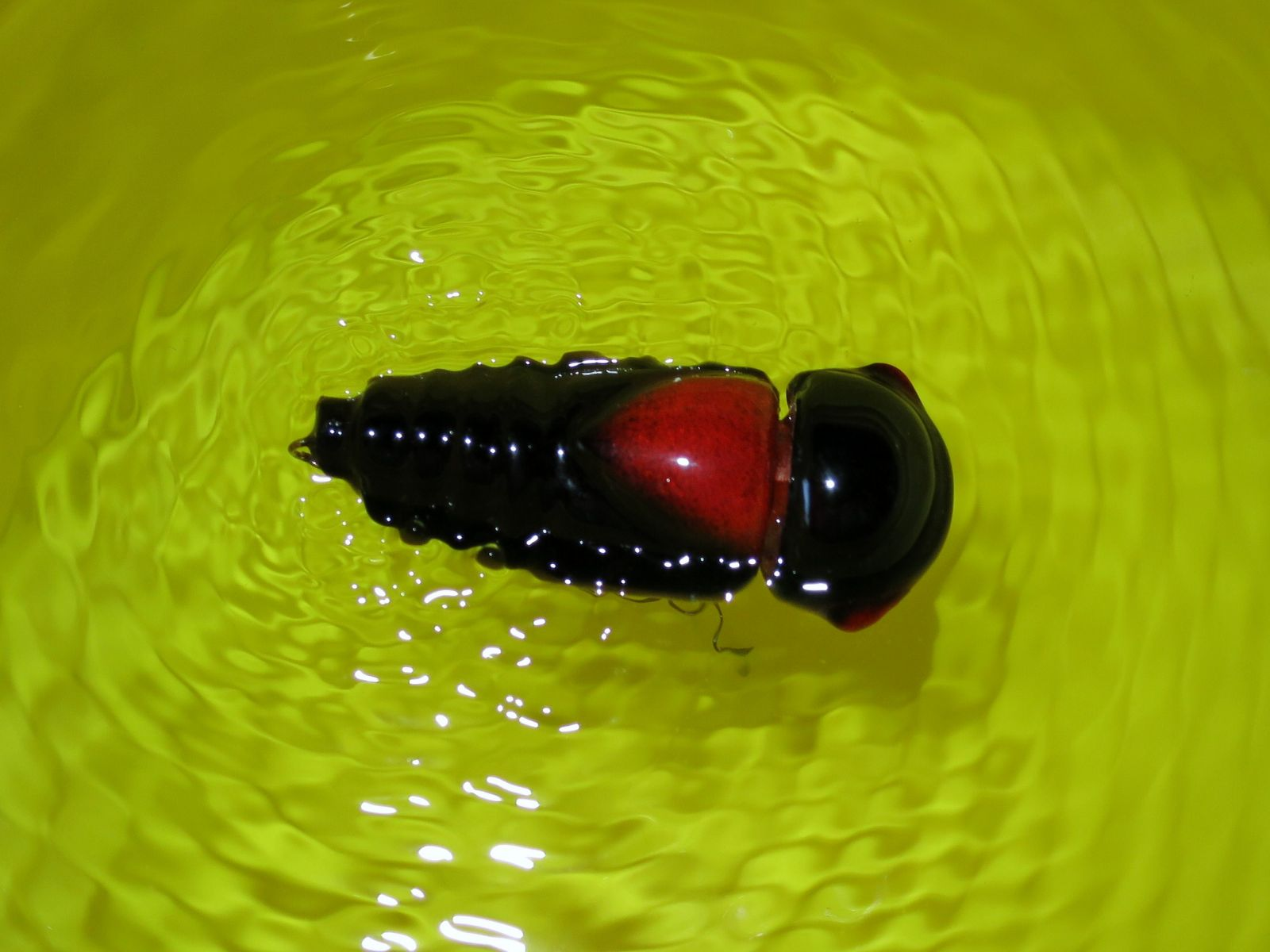 Battery Powered Vibrating Cicada in the water