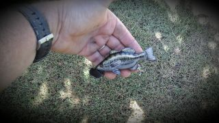 large mouth bass surface lure