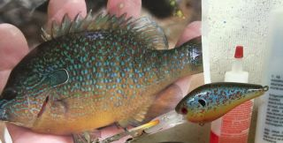 Common Pumpkinseed