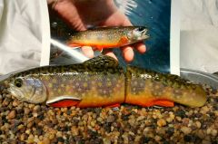Brook trout swimbait
