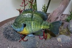 Female Bluegill
