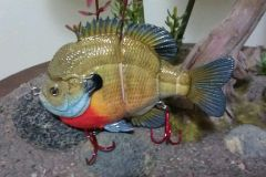 Male Bluegill