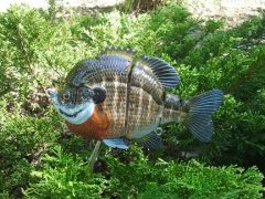 "6"" Male Blugill"