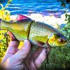 rudd fish imitation