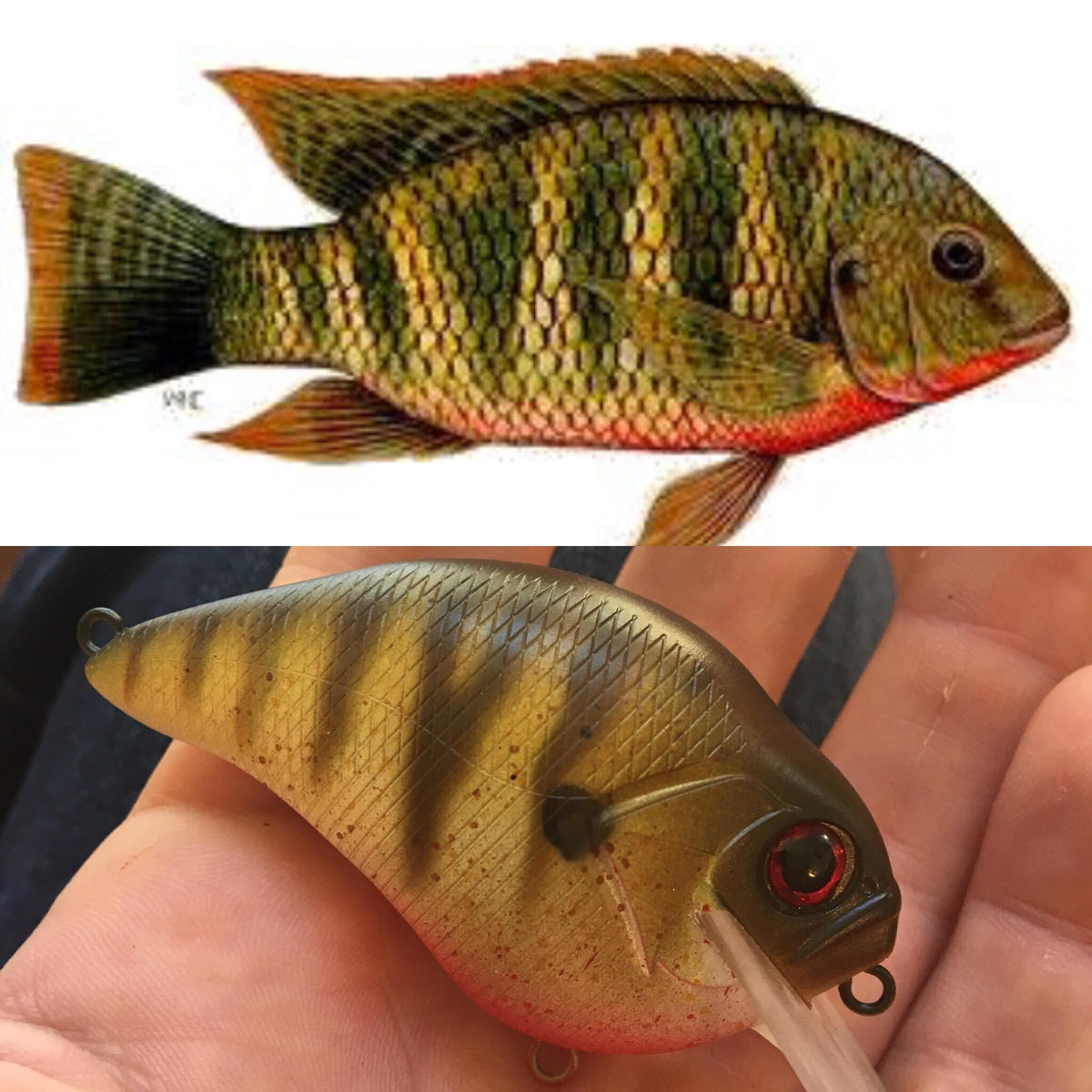 Red breasted Talapia