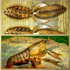 Deep Creek Lures Super Razor Beetle in Copper Craw