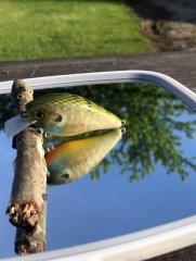 Spring Juvenile Gill