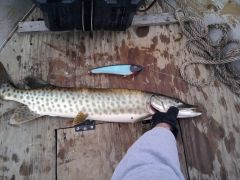 My First Musky On First Handcrafted Glider