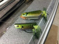 three bluegill frogs  Two only