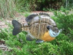 "6"" Female Bluegill"