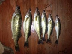 walleye bunch 2.jpg